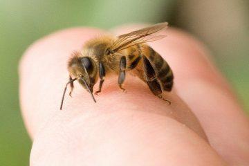 [ Bị ong đốt phải làm sao ] 5+ Cách chữa khi bị ong đốt hiệu quả