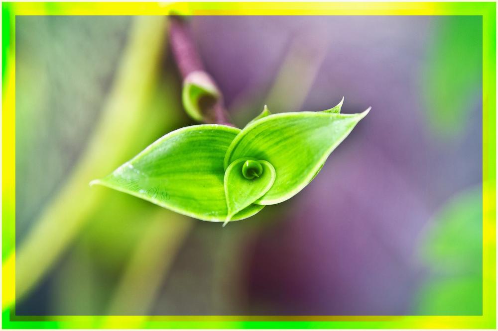 Bài thuốc chữa bệnh đau dạ dày từ cây lược vàng
