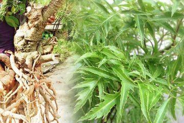 [ Cảnh báo ] 5+ Tác hại của củ và cây đinh lăng khi sử dụng !