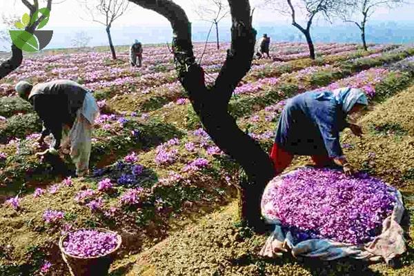 Thu hoạch nhụy hoa nghệ tây Saffron