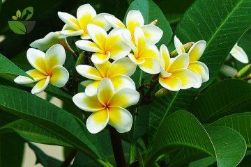 6 Công dụng chữa bệnh của cây Đại và hoa Đại trắng