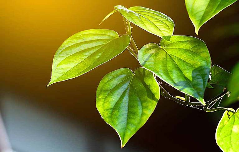 Lá trầu không chữa bệnh mề đay có thực sự hiệu quả?