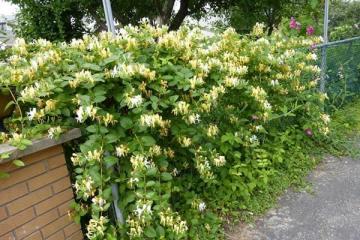 14 Tác dụng của cây Kim Ngân Hoa tuyệt vời lưu truyền trong dân gian