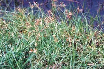 15 Tác dụng của Cây Hương Phụ, cây cỏ khó tiêu diệt