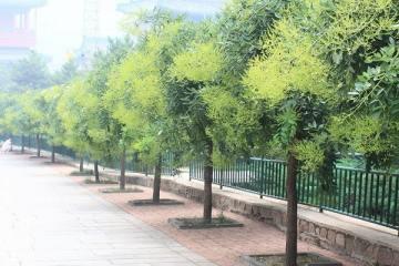 Cây Hoa Hòe và 24 tác dụng chữa bệnh hay trong dân gian