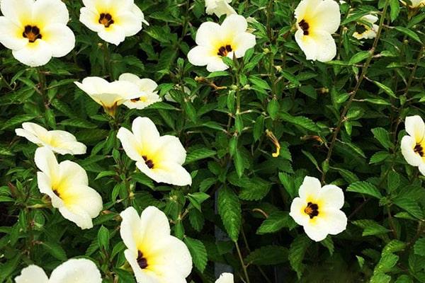 Hoa dừa cạn màu kem