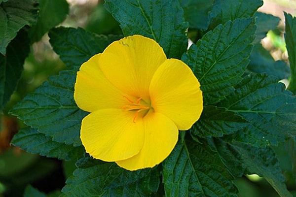 Hoa dừa cạn vàng