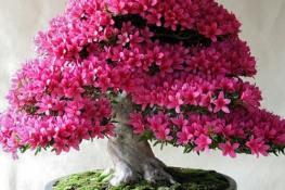 Hơn 24 tác dụng của Hoa Đỗ Quyên sắc màu rực rỡ