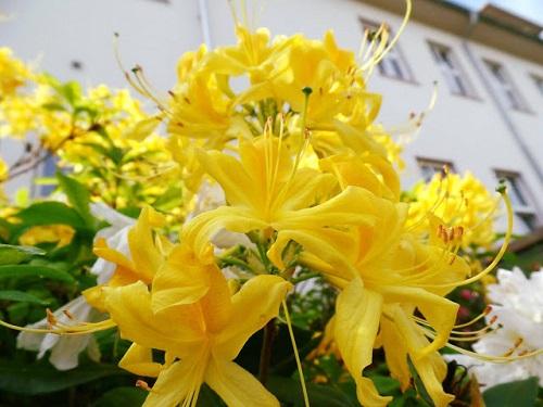 hoa đỗ quyên vàng