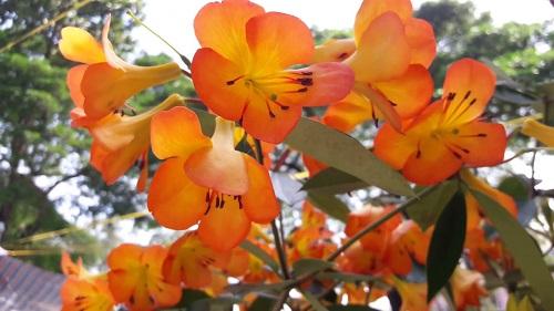 hoa đỗ quyên cam
