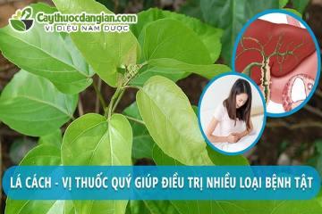 12+ Tác dụng của Cây lá cách, rau ăn nhưng nhiều lợi ích thần kì