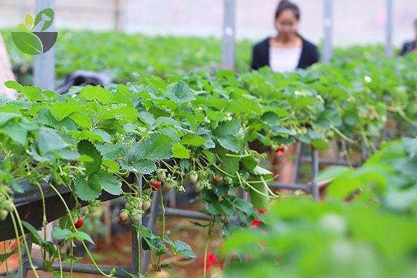 Vườn dâu tây