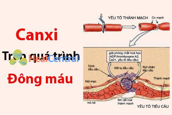Vai trò của canxi trên quá trình đông máu