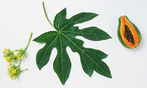 Cách chữa viêm da cơ địa bằng lá đu đủ tươi nhiều người đã khỏi