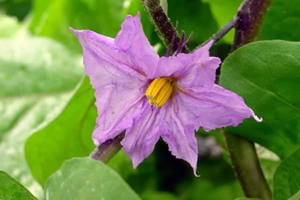 Hoa cà tím