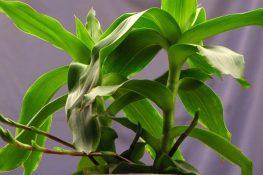 Cách chữa bệnh vảy nến bằng cây lược vàng hiệu quả gọn nhẹ