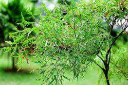 Cách chữa đau lưng bằng lá đinh lăng và thân, rễ cây đinh lăng hiệu quả