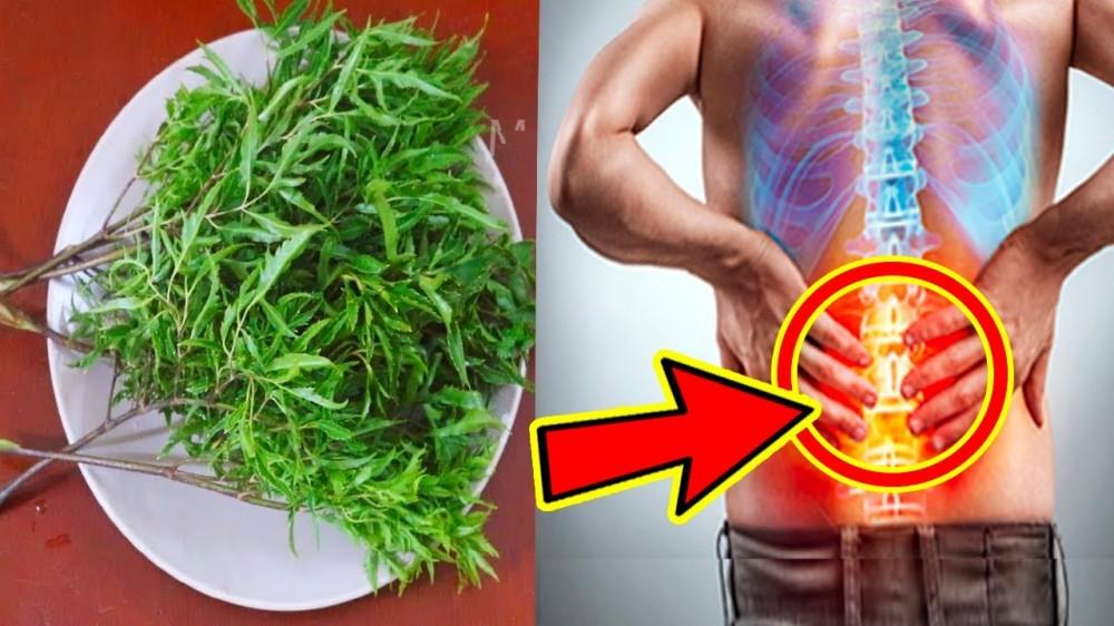 Cách chữa đau lưng bằng lá đinh lăng